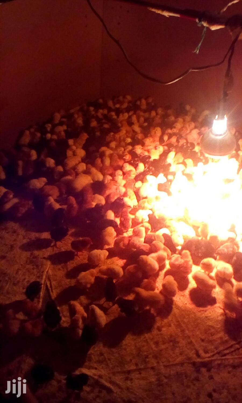 Day Old Chicks   Livestock & Poultry for sale in Nakuru Town East, Nakuru, Kenya