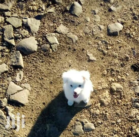 Archive: 1-3 Month Female Purebred Japanese Spitz