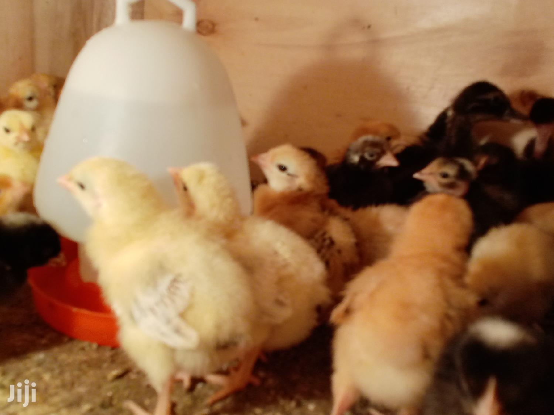 Week Old Improved Kienyeji Chicks