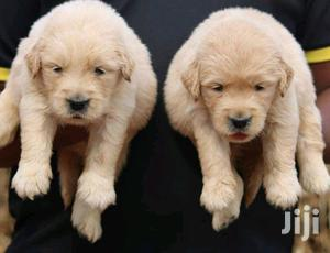 Baby Female Purebred Golden Retriever   Dogs & Puppies for sale in Nairobi, Kahawa