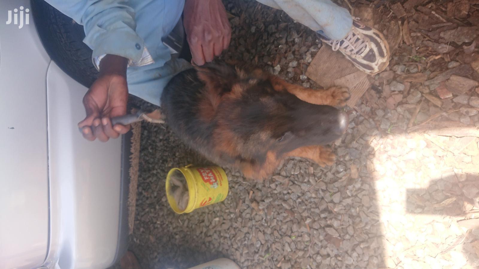 1-3 Month Female Purebred German Shepherd | Dogs & Puppies for sale in Kerugoya, Kirinyaga, Kenya