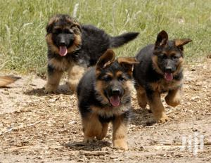 1-3 Month Female Purebred German Shepherd | Dogs & Puppies for sale in Nairobi, Nairobi Central