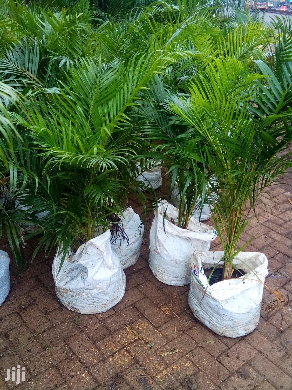 Golden Palm/Areca Palm