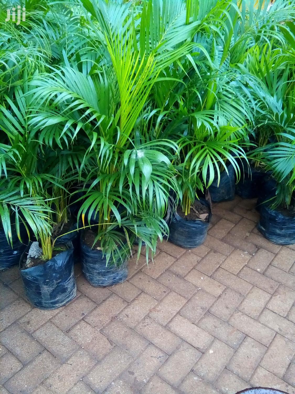 Golden Palm/Areca Palm   Garden for sale in Karen, Nairobi, Kenya