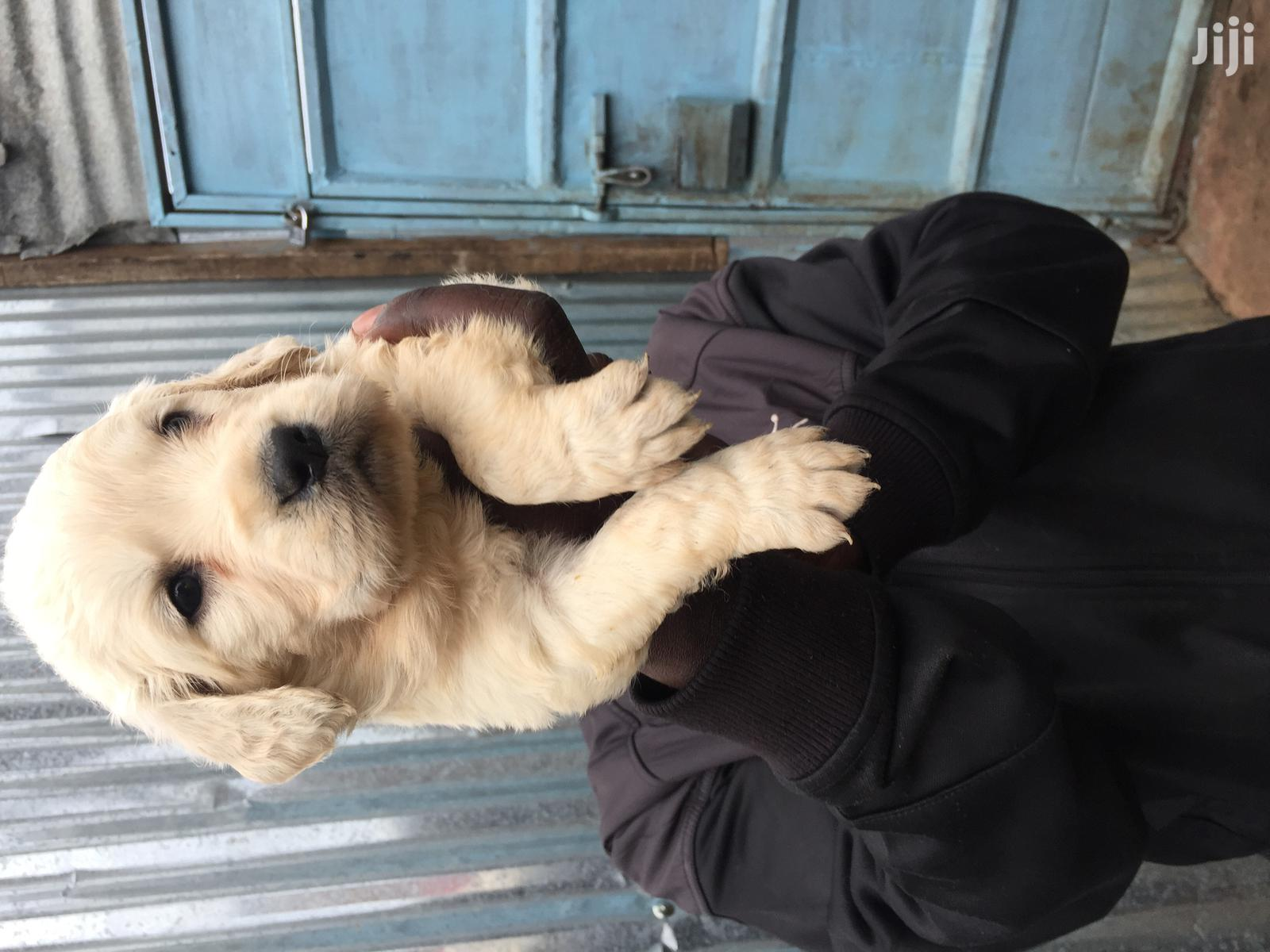 Baby Female Purebred Golden Retriever