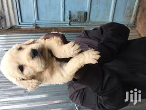 Baby Female Purebred Golden Retriever   Dogs & Puppies for sale in Nairobi, Nairobi Central