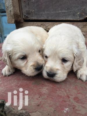 Baby Female Purebred Golden Retriever   Dogs & Puppies for sale in Mombasa, Tudor