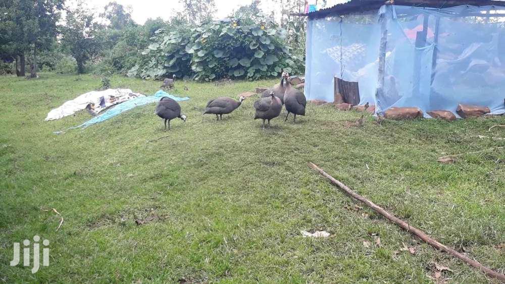 Archive: Guinea Fowls