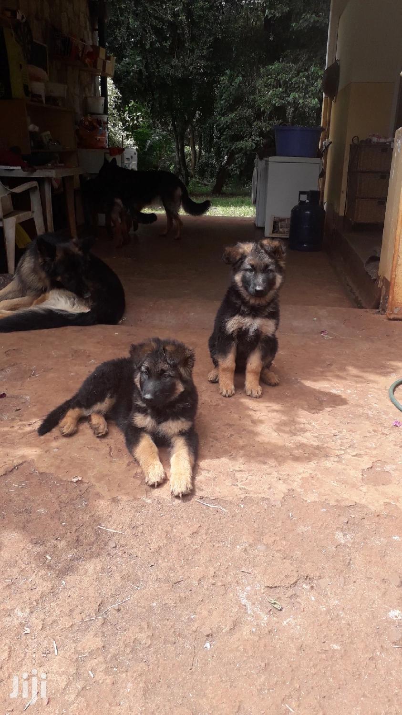 Baby Female Purebred German Shepherd | Dogs & Puppies for sale in Karen, Nairobi, Kenya