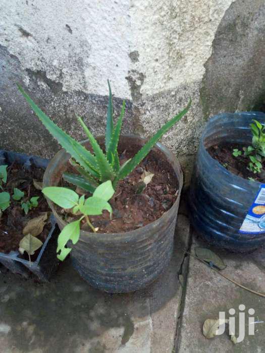 Aloe Vera*Potted*   Garden for sale in Kilimani, Nairobi, Kenya